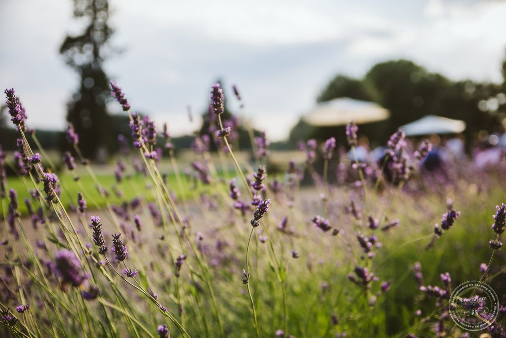 The lavender bushes at Gosfield Hall